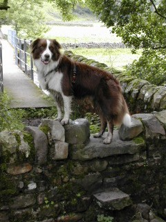 Bluey, An Australian Shepherd Dog, waits for Birgit on a stone stile